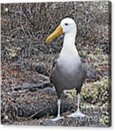 Waved Albatross Diomeda Irrorata Acrylic Print