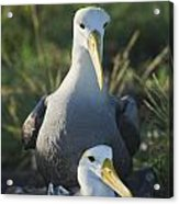 Waved Albatross Mate In Galapagos Acrylic Print