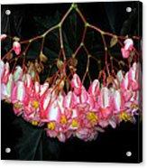 Wax Begonia Acrylic Print