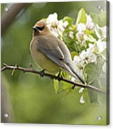 Waxwing In A Dream Acrylic Print