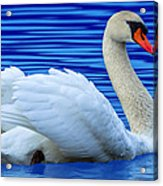 Wayward Swan 2 Acrylic Print