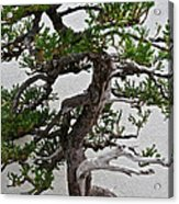 Weathered Bonsai Acrylic Print