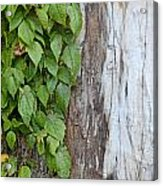 Weathered Tree Trunk With Vines Acrylic Print