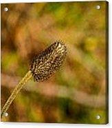 Weed Seed Head Acrylic Print
