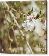 Weeping Cherry Tree Acrylic Print