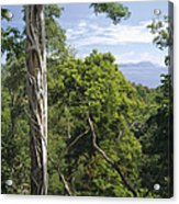 Weeping Fig And Host Natu Tree Sulawesi Acrylic Print