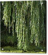 Weeping Willow Acrylic Print