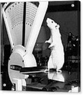 Weight Watcher Lab Rat Acrylic Print