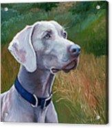 Weimaraner Dog Acrylic Print