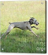 Weimaraner Dog Running Acrylic Print