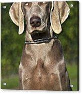 Weimaraner Hunting Dog Acrylic Print
