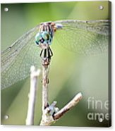 Welcome To My World Dragonfly Acrylic Print