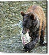 Well Done Little Bear Acrylic Print