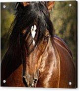 Welsh Cob Stallion Acrylic Print