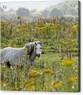 Welsh Pony Acrylic Print
