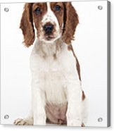 Welsh Springer Spaniel Dog Acrylic Print