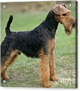 Welsh Terrier Dog Acrylic Print