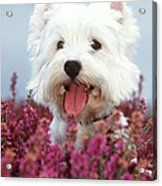 West Highland Terrier Dog In Heather Acrylic Print