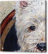 West Highland Terrier Dog Portrait Acrylic Print