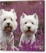 West Highland Terrier Dogs In Heather Acrylic Print