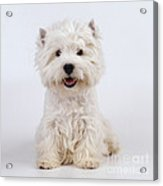 West Highland White Terrier Dog Acrylic Print