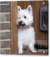 West Highland White Terrier Acrylic Print