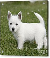 West Highland White Terrier Puppy Acrylic Print