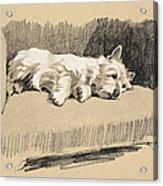 West Highlander, 1930 Acrylic Print
