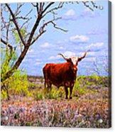 West Texas Longhorn Acrylic Print