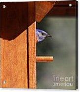 Western Bluebird At Nest Acrylic Print