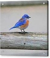 Western Bluebird Perching Acrylic Print