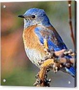 Western Bluebird Profile Acrylic Print