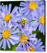 Western Daisies Asters Glacier National Park Acrylic Print