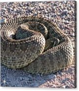 Western Dakota Prairie Rattlesnake Acrylic Print