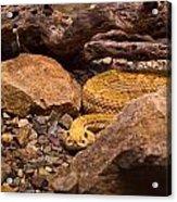 Western Diamondback Rattlesnake 2 Acrylic Print