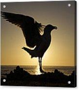 Western Gull At Sunset California Acrylic Print