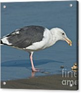 Western Gull Eating Clam Acrylic Print