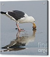 Western Gull Eats Clam Acrylic Print
