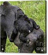 Western Lowland Gorilla 1 Acrylic Print