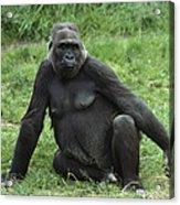 Western Lowland Gorilla Female Acrylic Print