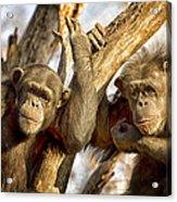 Western Lowland Gorillas Acrylic Print