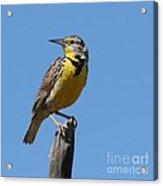 Western Meadowlark Perching Acrylic Print