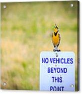 Western Meadowlark Singing Acrylic Print