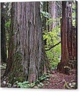 Western Red Cedar Grove Acrylic Print