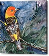 Western Tanager At Mt. Falcon Park Acrylic Print