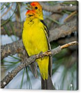 Western Tanager Singing Acrylic Print