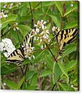 Western Tiger Swallowtail Butterflies Acrylic Print