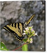 Western Tiger Swallowtail Butterfly 2 Acrylic Print