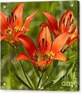 Western Wood Lily Acrylic Print
