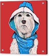 Westie In A Blue Slicker Acrylic Print